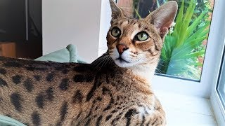 5 Reasons for OWNING a Savannah cat
