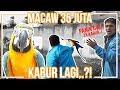 Masteran Free Fly Burung Macaw Kabur Lagi Format Mp3