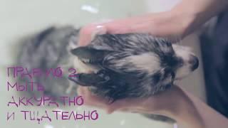 Как мыть собаку дома | Правила купания собак(Как помыть собаку в домашних условиях в ванной? В этом видео чихуахуа Софи расскажет 4 основных правила,..., 2014-04-29T14:39:19.000Z)