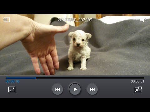 Various Color Adult Teacup Teddy Bears Poodles 2-1 from YouTube · Duration:  1 minutes 9 seconds