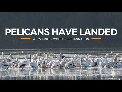 American White Pelicans Return To Will County