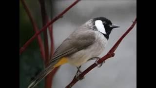 Single Terbaru -  Burung Kutilang Dangdut Lagu Anak Indonesia