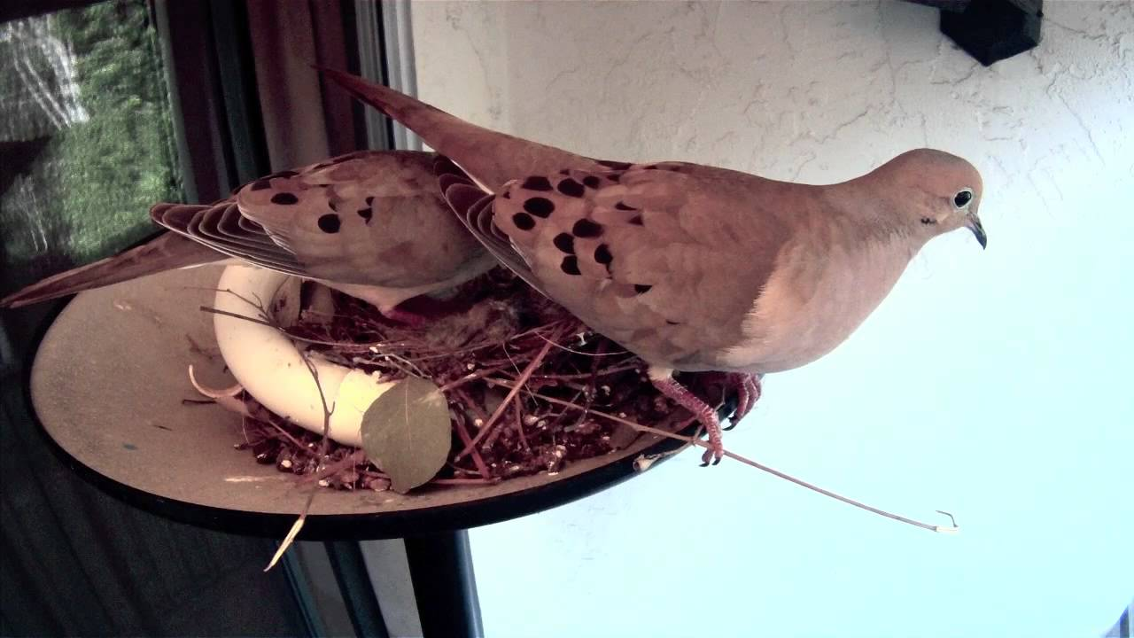 Doves Chicks Die In Nest How The Parents Reacted Youtube
