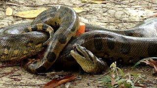 Anaconda snake caught in fishnet cut loose in Surinam