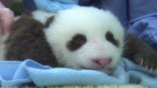 Mata Anak Panda Mulai Terbuka