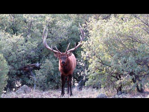 2020 Trophy Bull Elk Hunt   White Mountain Apache Reservation