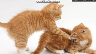два красивых рыжих кота