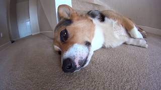 WAKE UP CORGIS! - Sony Action Cam HDR-AS10 Indoor Light Test Video