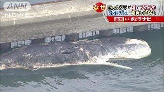 港でプカプカ浮かぶのは10m近いクジラでした。釣り客が船と見間違うほど...
