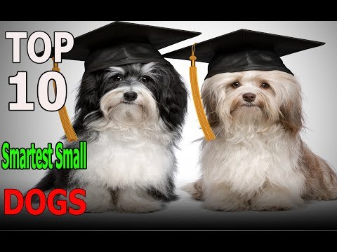 top-10-smartest-small-dog-breeds-|-top-10-animals