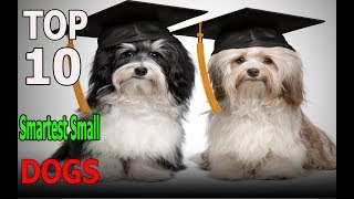 Top 10 Smartest Small Dog Breeds | Top 10 animals