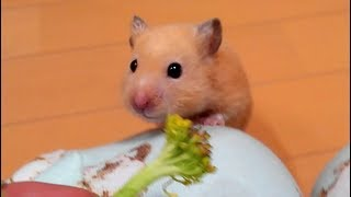 罠を仕掛けた結果…?おもしろ可愛いハムスターFunny Hamster`s trap is set.