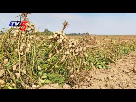 Agriculture Officials Negligence On Kharif Season   Groundnut Farming   Chittoor   TV5 News