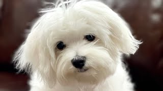 Maltese Puppy First Day   Cutest Maltese Dog   Funny Dog Video