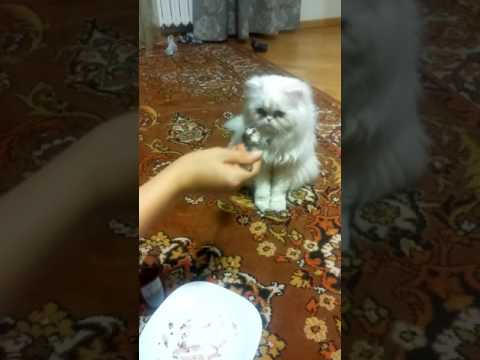 persian cat LIONEL  waiting for cake.