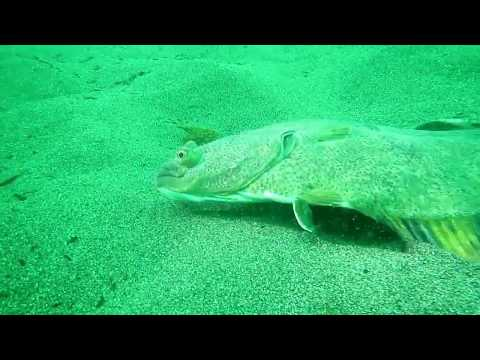Pacific Sand Lance And Starry Flounder Utilizing Sand Habitat Near The Elwha River Mouth