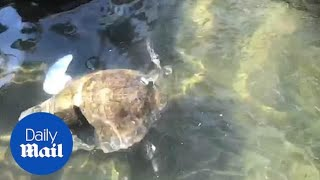 Amputee turtle swims for the first time using a prosthetic flipper!