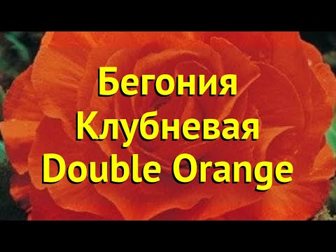 Бегония клубневая Дабл Орендж. Краткий обзор, описание характеристик begonia Double Orange
