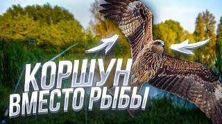Поймали коршуна на спиннинг Спасли птичку Caught a kite on a spinning rod Saved the bird