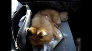 Pomeranian sleeping like a boss in the car Thumbnail