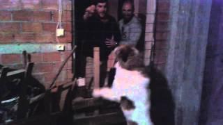 ελληνικο τσοπανοσκυλο φυλακας