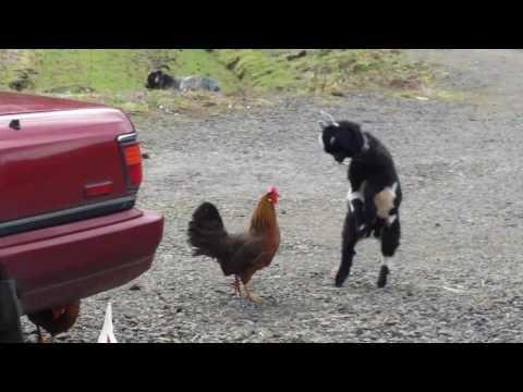 Baby goat chicken fight