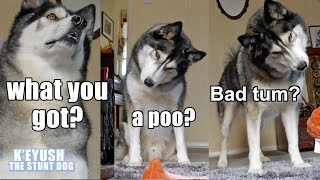 husky-argues-with-farting-poop-tells-me-to-grow-up-hilarious-reaction