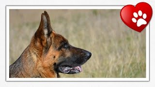 German Shepherd Dog (breed Information + Slideshow)