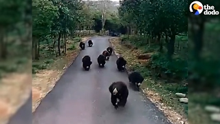 Bears Can't Run Fast Enough ... Because FOOD