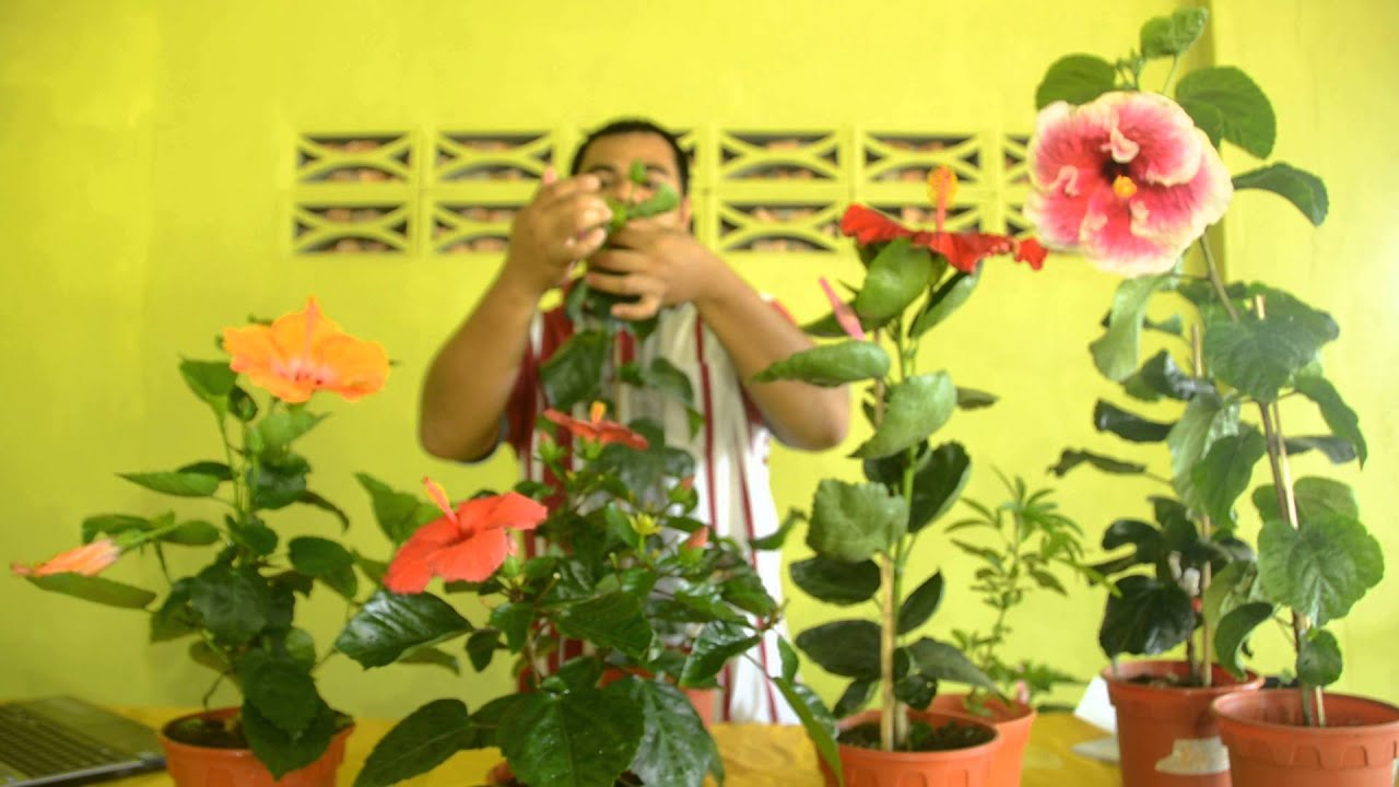 Get Hibiscus Seed Youtube