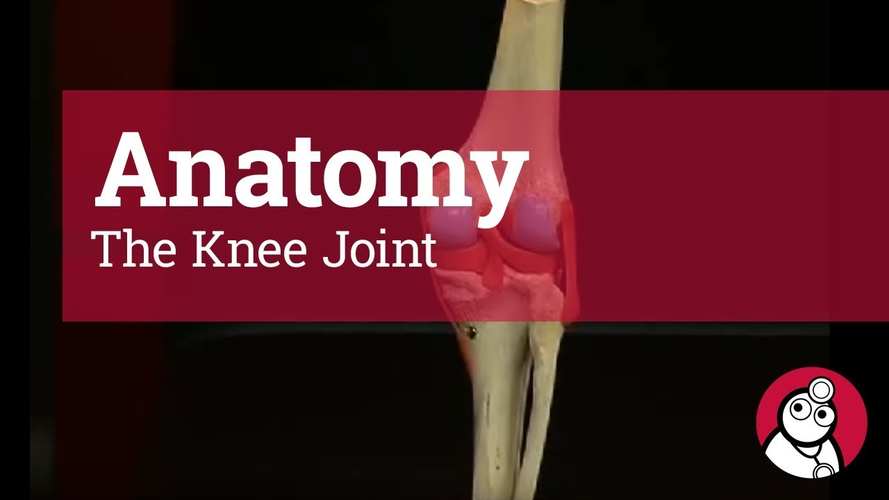 Anatomy The Knee Joint Youtube