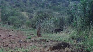 WATCH: Rare black leopard spotted in Kenya