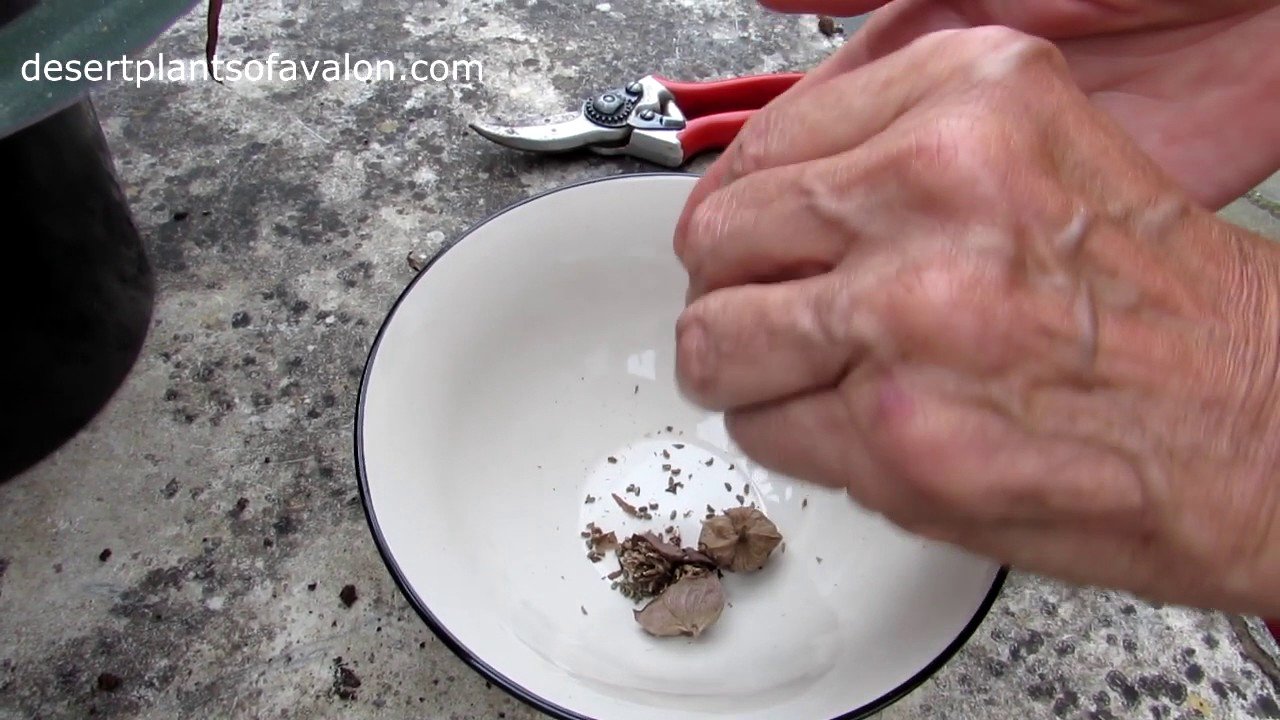 How to grow Tradescanthia plants from seed part one - Harvesting the Seed