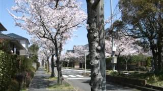 脱臼した肩を嵌め込んで、お散歩再開です。桜の花が満開で、お散歩日和・・