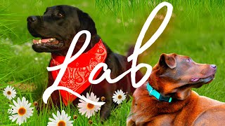 Labrador Retriever What You Must Know About This Cute Family Pet!