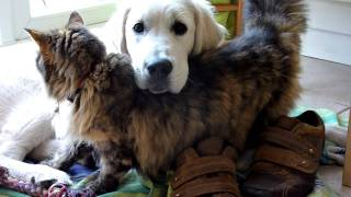 Cat Loves Cutest Golden Retriever Puppy