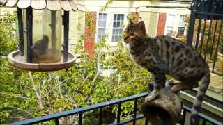 Bengal Cat With Bird Caught In Bird Feeder