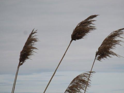 Roseau commun: un amadou pour le printemps