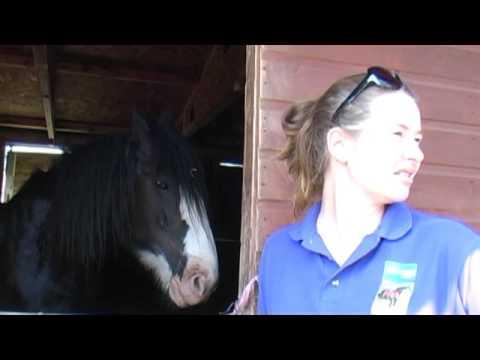 Dyfed Shire Horse Farm, Eglwyswrw, Crymych, Pembrokeshire, Wales