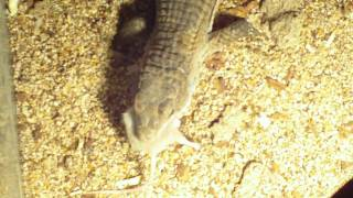 Sudan plated lizard eats rat baby then mouse