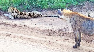 Hyena Gives Leopard the Fright of its Life!