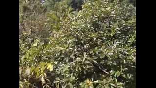 Абхазия   Новый Афон, сад одного из домов(Абхазия Новый Афон, сад одного из домов Видео по теме Абхазии:Абхазия,новый афон,абхазия 2015,отдых в абхази..., 2015-07-29T21:51:04.000Z)