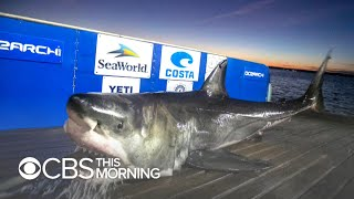 Cluster of massive great white sharks spotted off Carolina coast