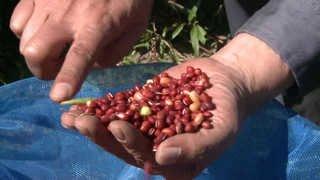 카페인 걱정없는 잡곡차 개발…건강음료 기대