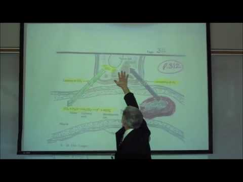 RESPIRATORY PHYSIOLOGY; TRANSPORT OF O2 IN THE BLOODSTREAM by Professor Fink