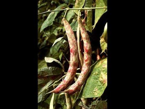 Полезные свойства фасоль стручковая » Ваш доктор Айболит