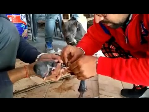 Pet Care - Delivery Puppy Care - Bhola Shola