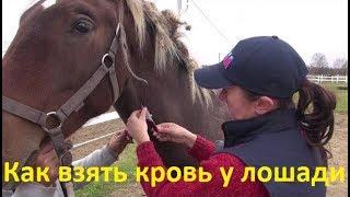 Как взять кровь у лошади и сделать прививку.