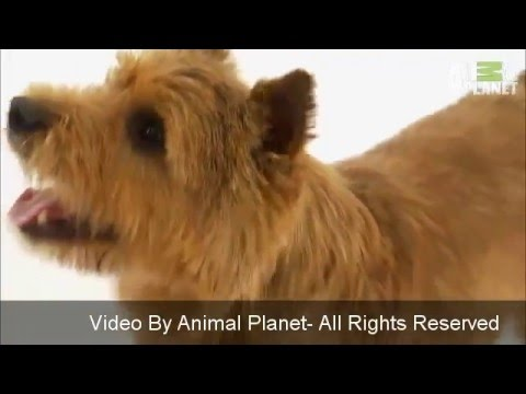 Norwich Terrier Temperament - and Breed Information