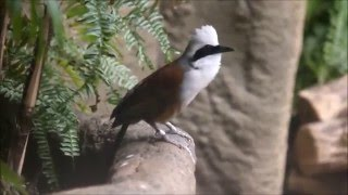 White-crested laughing thrush call